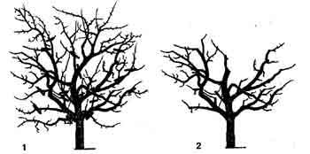 Обрезка и правильное омоложение плодовых деревьев