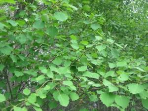 лечебные травы и растения, народная медицина, травяные чаи