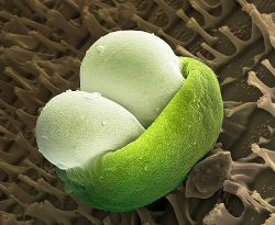Сосновые шишки. рецепты из сосновых шишек