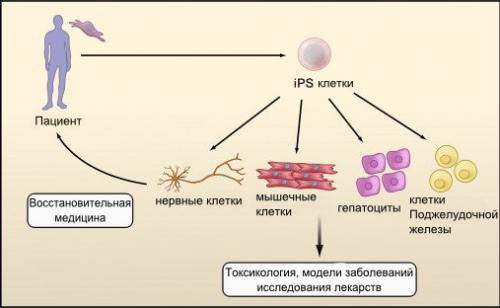Индуцированные плюрипотентные стволовые клетки (ips) и их применении в медицине - 23 сентября 2014 - наша планета.мир вокруг нас - наша планета.мир вокруг нас