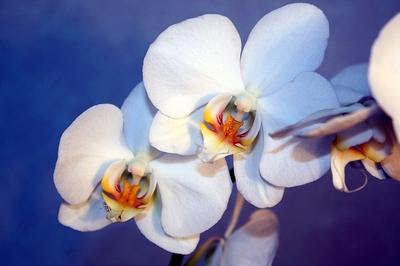Орхидеи в медицине
