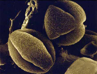 Аллергия и ее лечение гомеопатией